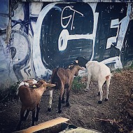 Paris Goats, Who knew?
